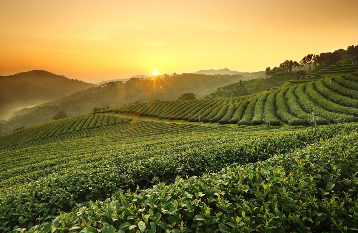 Doi Mae Salong Tea Plantation Thailand